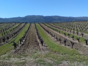 Rick Hammersley Walks by the Vineyards in Sonoma Valley