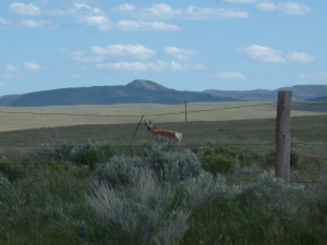 Pronghorn in Colorado
