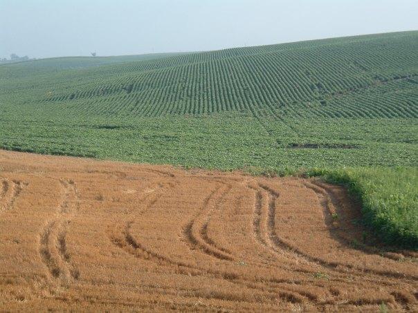 Corn Rows Nebraska
