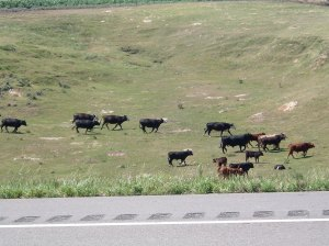 Cattle Call in Nebraska